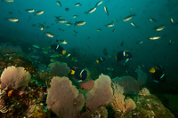 """A seamount rich in sea fans and soft corals and teaming with fish life includeing Scissortail Chromis (Chromis atrilobata), Pacific Creolefish (Paranthias colonus), King Angelfish (Holacanthus passer), snapper species, and others.<br /><br />Coiba Island<br />Coiba National Park, Panama<br />Tropical Eastern Pacific Ocean<br /><br />""""Twin Peaks"""" dive site"""