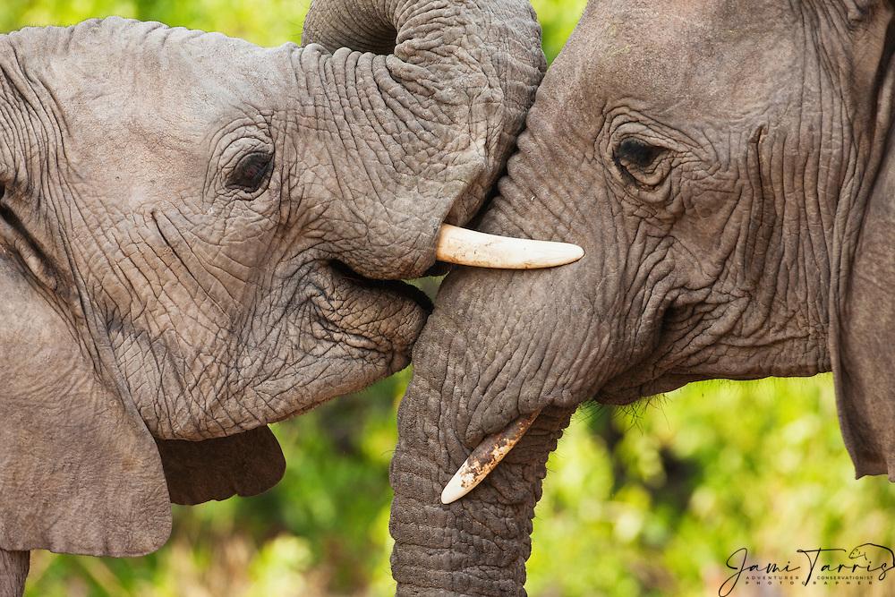 Two desert-dwelling elephants (Loxodonta africana) playing with their trunks and tusks, Skeleton Coast, Namibia, Africa