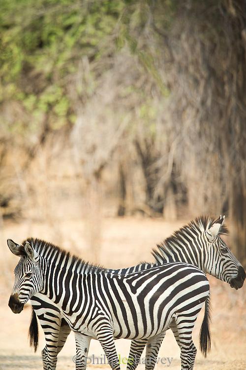Pair pf Zebra, Luangwa River Valley . Zambia, Africa