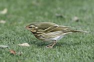 Olive-backed Pipit - Anthus hodgsoni