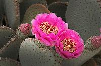 Beavertail Cactus (Opuntia basilaris) flowers, Anza-Borrego Desert State Park California