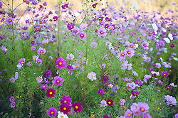 Wild cosmos flowers In A Field in East Hampton,NY