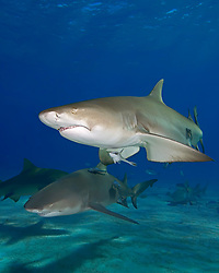 Lemon Sharks, Negaprion brevirostris, and Sharksuckers, Echeneis naucrates, West End, Grand Bahama, Bahamas, Caribbean, Atlantic Ocean
