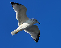 Ring-billed Gull (Larus delawarensis). Painted Rocks National Lakeshore, Michigan. Image taken with a Nikon D4 camera and 70-200 mm f/2.8 VR lens.