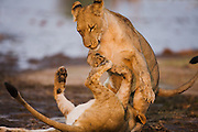 Lion cubs  (Panthera Leo) playing rough together, Chobe National Park, Botswana, Africa