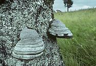 Hoof Fungus - Fomes fomentarius
