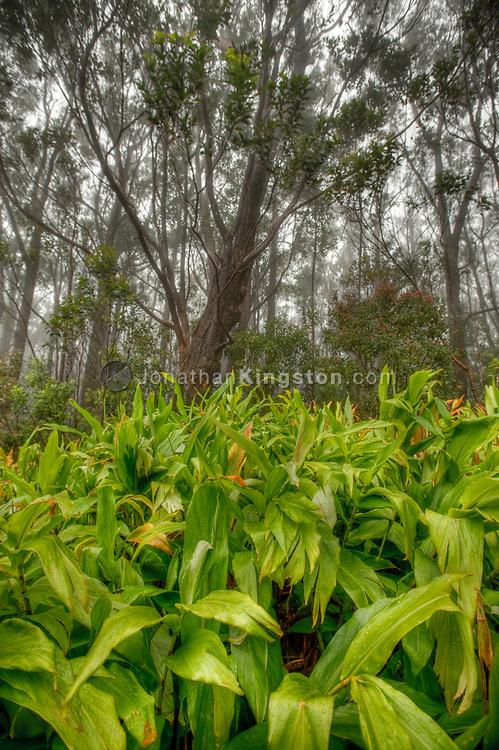 Trees and fog, Kamakou Nature Preserve, Molokai, Hawaii.