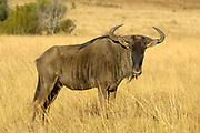 Blue wildebeest, Connochaetes taurinus taurinus, Pilanesberg, South Africa. Also known as the brindled gnu