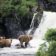 Alaskan Brown Bear (Ursus middendorffi) fishing for spawning salmon in the Kodiak National Wildlife Refuge in Alaska.
