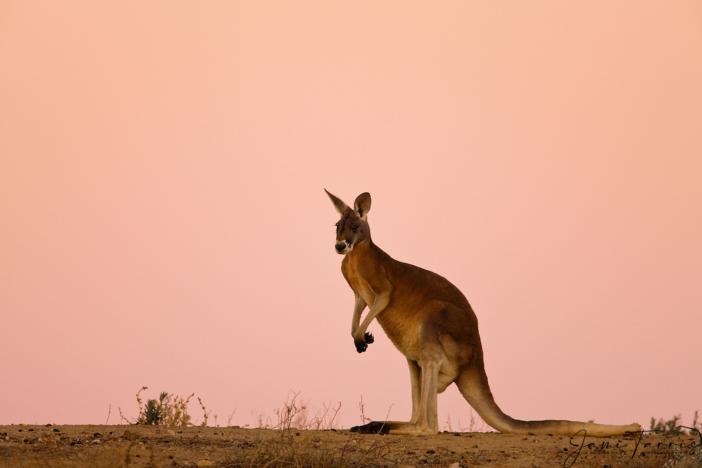 A red kangaroo (Macropus rufus) sitting on a stone ridge in beautiful light after sunset,  Sturt Stony Desert,  Australia