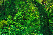 Lush overgrown jungle, Akaka Falls State Park, The Big Island, Hawaii USA