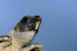 loggerhead turtle hatchling, Caretta caretta, endangered species, Bahamas, Caribbean, Atlantic Ocean (c)