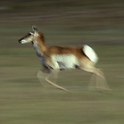 Pronghorn Antelope (Antilocapra americana) doe running across a green prarie during the early summer in Wyoming.