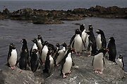 Rockhopper Penguins (Eudyptes chrysocome chrysocome)<br /> Steeple Jason Island. FALKLAND ISLANDS.<br /> They return in early October to breed after their winter pelagic wandering. The males return about 10 days before the females. They nest in close-packed colonies on cliffs, often in association with Black-browed albatross and King Cormorants. They lay 2 eggs. The first egg is smaller and the chick is rarely reared to fledging. After the chicks fledge in April the colonies are once again deserted. They are the most abundant penguin species in the Falklands. They feed mostly on squid, Lobster Krill and fish.<br /> RANGE: Subantarctic Islands, Cape Horn, Ildefonso Island, Isla Morton, Isla Hornos and Southern Chile, Falkands and a few in South Georgia. Also Tristan de Cunha, Gough, St Paul and Amsterdam Islands, Prince Edward, Marion, Crozet, Kerguelen, Heard, Macquarie, Campbell, Antipodes and Auckland Islands.<br /> <br /> The Jasons (Grand and Steeple) are a chain of islands 40 miles (64km) north and west off West Falkland towards Patagonia. Steeple is 6 by 1 mile (10Km by 1.6km) in size. From the coast the land rises steeply to a rocky ridge running along the length. <br /> This island has the largest Black-browed Albatross colony in the world with 113,000. The island is owned by WCS (Wildlife Conservation Society)
