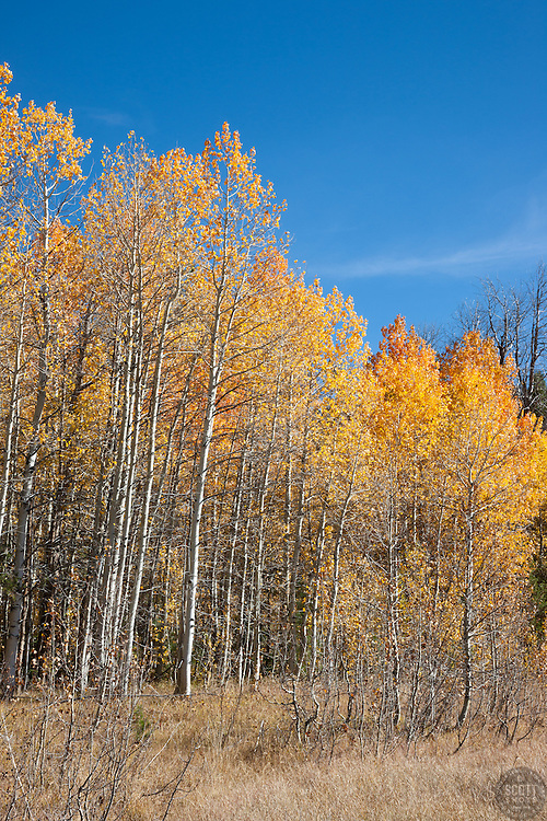 """""""Aspens at Klondike Meadow 5"""" - These yellow aspen trees were photographed in the fall at Klondike Meadow near Truckee, California."""