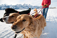 A young woman walks a group of dogs in Grand Teton National Park, Jackson Hole, Wyoming.