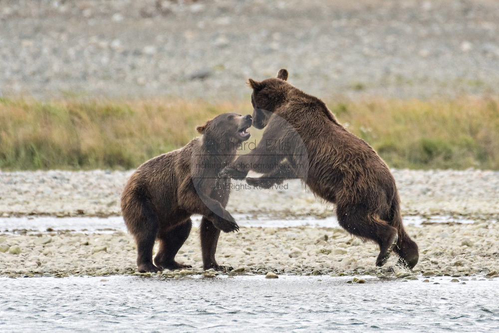 Brown bear sub-adults play fight at the McNeil River State Game Sanctuary on the Kenai Peninsula, Alaska. The remote site is accessed only with a special permit and is the world's largest seasonal population of brown bears in their natural environment.