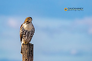 Rough legged hawk on fencepost in winter at Ninepipe WMA in the Mission Valley of Montana