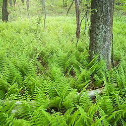 Ferns in the forest in Grafton, Massachusetts. .Hassanamesitt Woods.  Worceseter County.