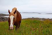 Horse, Ile de Batz, Brittany, France