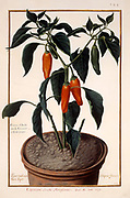 potted pepper shrub (Piper indicum) a 17th century hand painted on Parchment botany study of a from the Jardin du Roi botanical Florilegium of Prince Eugene of Savoy collection, Paris c. 1670 artist: Nicolas Robert