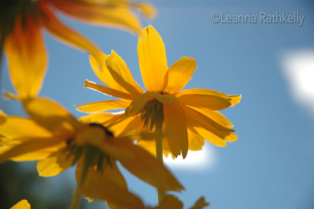 Brown-eyed Susans, flowers against the brilliant blue summer sky.