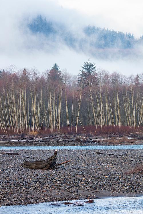 About a dozen bald eagles (Haliaeetus leucocephalus) rest on logs or in trees along the Nooksack River near Deming, Washington.