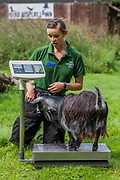 Pigmy goats on scales as a keeper seems surprised by the weight - The annual weigh-in records animals' vital statistics at ZSL London Zoo. London, 24 August 2017