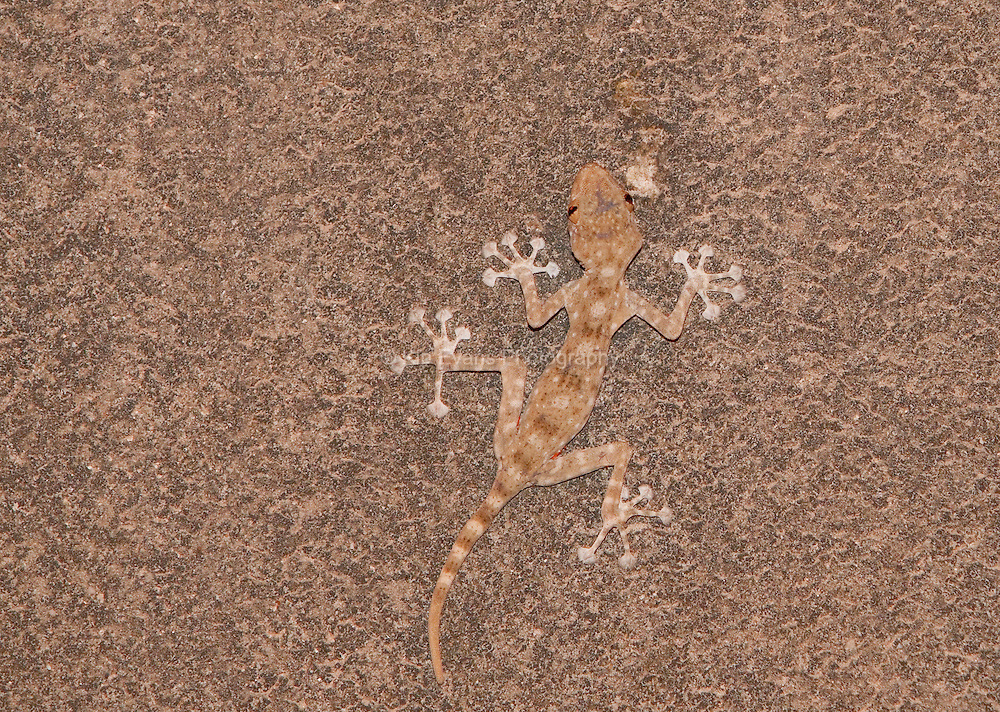 A fan-fingered gecko (Ptyodactylus guttatus) tries to blend in with a call in Israel.