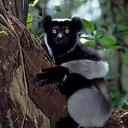 Indri Lemur, (Indri indri) Largest of lemurs. Inhabits Southeastern rainforests of Madagascar.