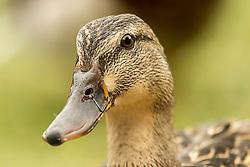 My Other Good Side - A closeup Head-shot Of A Female Mallard Duck