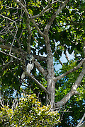 Harpy Eagle (Harpia harpyja)<br /> Rainforest<br /> Rewa River<br /> GUYANA. South America<br /> RANGE: Central and South America<br /> IUCN: NEAR THREATENED
