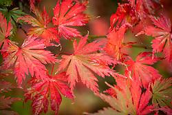 Acer palmatum 'Beni-schichi-henge' - Marginatum Group - Japanese maple