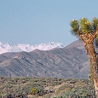 Joshua Tree in Inyo Mountains, California. Sierra Nevada & Palisade Glacier background.
