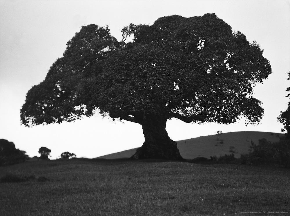 Umbrella Tree, Nilgiris, India, 1929