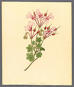 Pelargonium peltatum (1817) the ivy-leaved pelargonium and cascading geranium from a collection of ' Drawings of plants collected at Cape Town ' by Clemenz Heinrich, Wehdemann, 1762-1835 Collected and drawn in the Cape Colony, South Africa