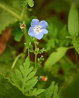 Baby Blue Eyes flower. Image taken with a Nikon Df camera and 70-300 mm lens