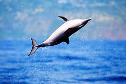 pantropical spotted dolphin calf, .Stenella attenuata, leaping, .Big Island, Hawaii (Pacific)