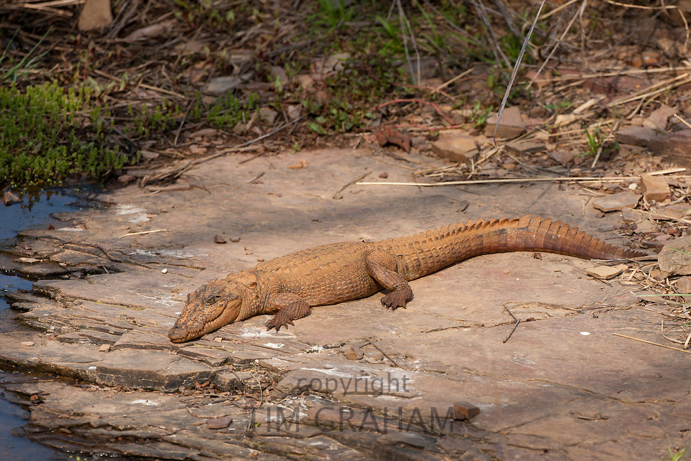 Indian marsh crocodile, Crocodylus palustris, Swamp Crocodile in Ranthambhore National Park, Rajasthan, Northern India