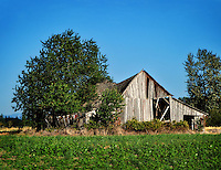 This old abandoned barn is being taken over by a tree in rural Western Oregon