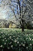 Sweet Cherry, prunus avium, Narcissus 'Ice Follies,' Chanticleer, Philadelphia gardens and arboretums, Wayne, Delaware Co. PA