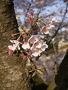 Japan, Honshu, Hiroshima Japanese Garden in spring bloom