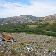 Cachena, the small, long-horned cow breed of this part of the country, that roams the highlands freely during the summer