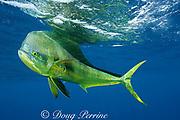 dorado, mahi mahi, or dolphin fish, Coryphaena hippurus, large bull ( male ), off Isla Mujeres, near Cancun, Yucatan Peninsula, Mexico ( Caribbean Sea )