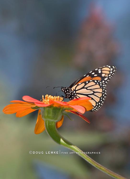 Monarch Butterfly On A Red Flower, Danaus plexippus