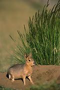 Mara / Patagonian Hare<br />Dolichotis  Patagonum<br />Patagonia, ARGENTINA  South America<br />RANGE: Argentina 28-50S