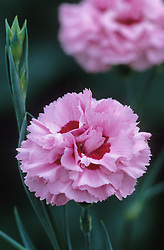 Dianthus 'Monica'- Carnation, Pink