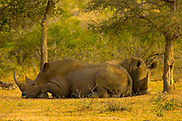 Two Black Rhinos, Kruger National Park, South Africa