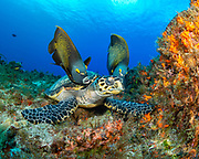 Hawksbill Turtle and French Angelfish