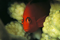 A flame hawkfish peers from a coral hiding place.